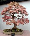 Bonsai Federahorn.jpg