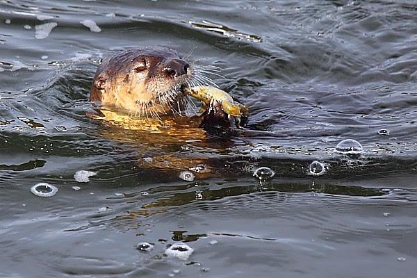 IMG_9969G Otter 600*400