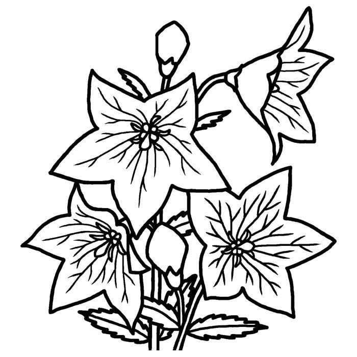 キキョウ桔梗白黒秋の花無料イラスト素材
