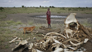 Related story: Thriving black-market for ivory drives slaughter of African elephants