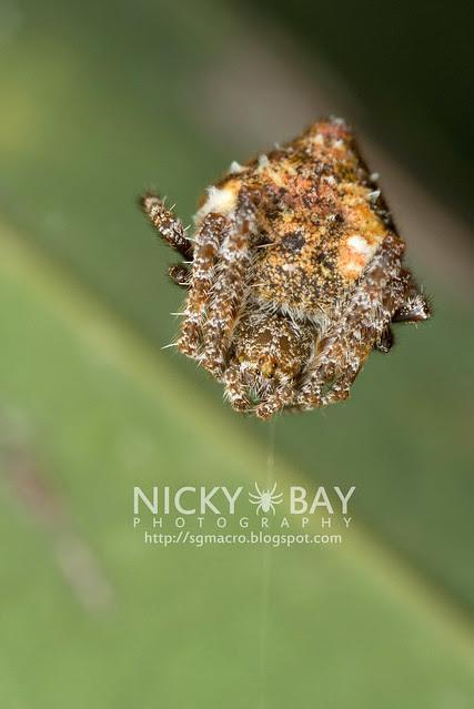 Orb Weaver Spider (Eriovixia sp.) - DSC_2653