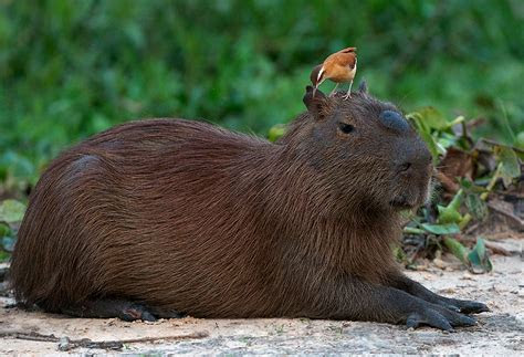 capybaras   Extraordinarily Well Rounded