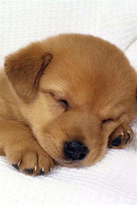 sleeping puppy iphone wallpaper hd   iphonewalls