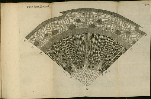 Pine Tree Branch - The comparative anatomy of trunks - Nehemiah Grew 1675