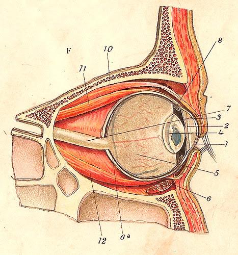 Anatomy of the eye / Anatomia do Olho