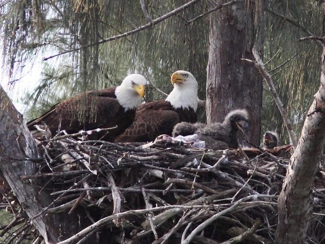 Bald Eagle family 20140205