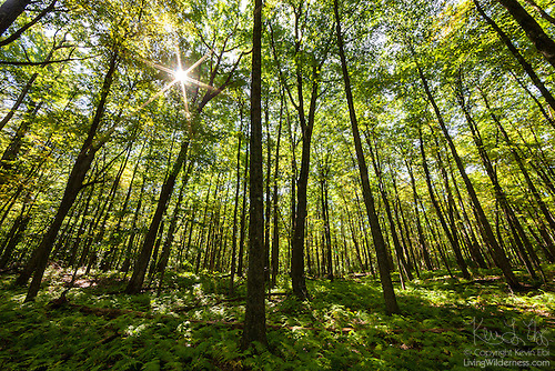 Sun Shining Through Forest Canopy, Allegheny National Forest, Pennsylvania