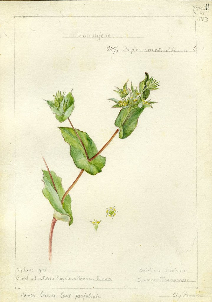 Bupleurum rotundiflorum, Essex, 1905