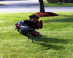 Turkeys90208b