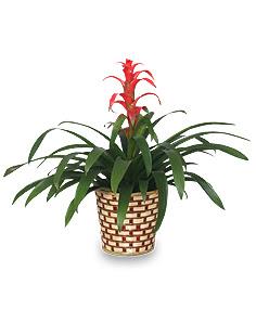 bromeliad guzmania lingulata major