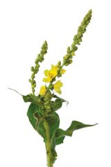 Din reţetele domnului farmacist BOBARU: Lumânărica, medicul plămânilor (Verbascum phlomoides)