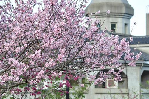 東勢林場櫻花季