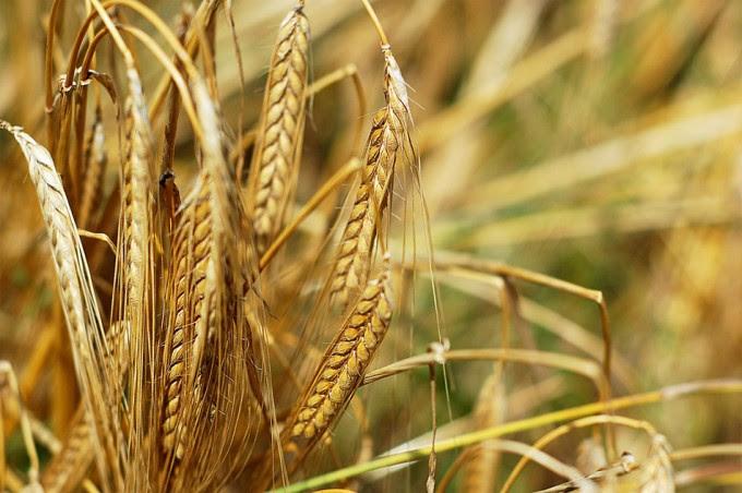Alimentos modificados genéticamente en Estados Unidos