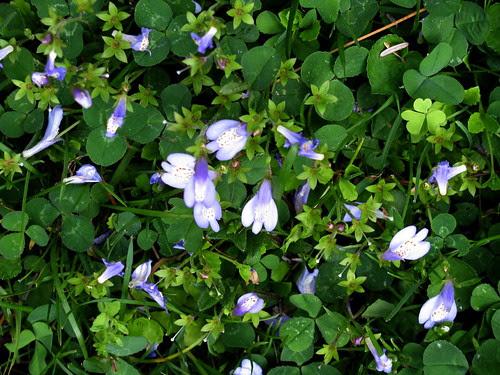 mini violets