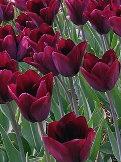 Tulipa 'Havran' 5 stk