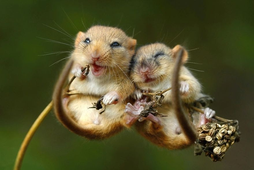 Cute Mice Cuddling