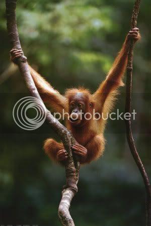 http://i202.photobucket.com/albums/aa144/Primate_bucket/2400-1197Orangutan-Baby-Posters.jpg