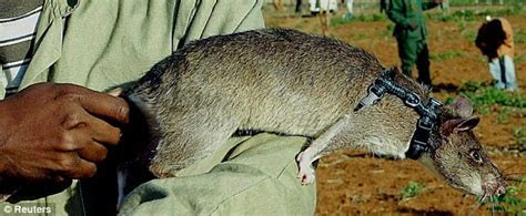 Cat sized African rats battle eradication efforts in Florida Keys   Daily Mail Online