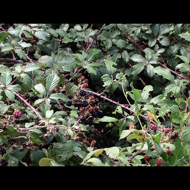 Blackberries, deliiiicious!