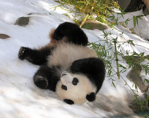 Panda rolling downhill