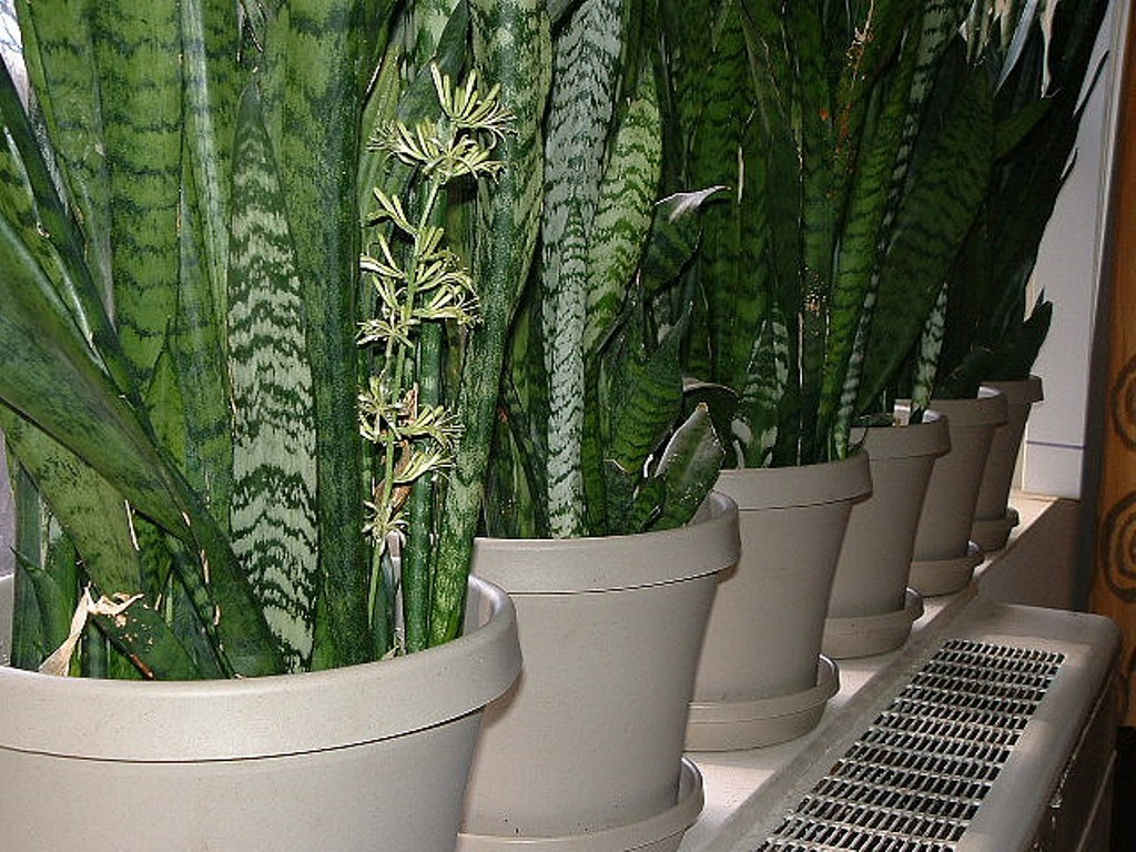 How to Grow Snake Plants | How To Grow Stuff