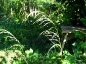 Meadow-grass