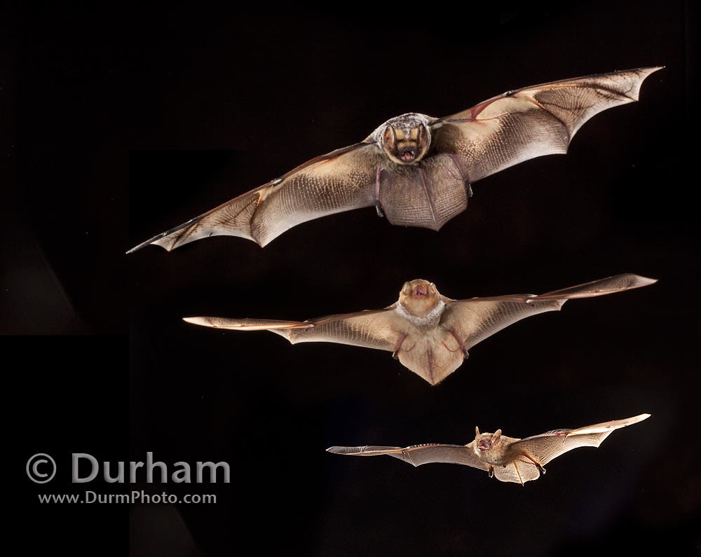 Bats Relative to Size
