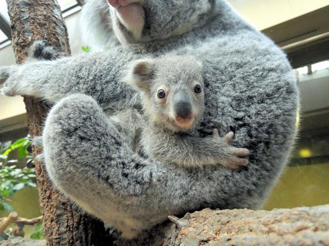 コアラの赤ちゃんママの袋からひょっこり 東山動物園朝日新聞デジタル