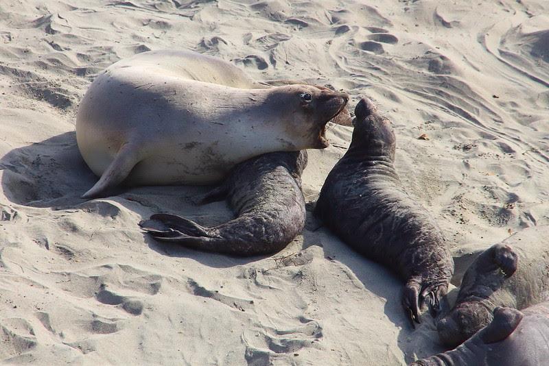 IMG_1364 Elephant Seal