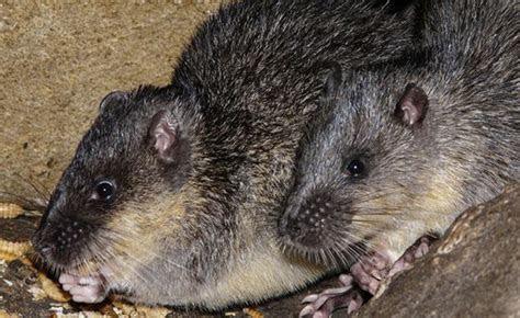 Water Rat   Zoos Victoria