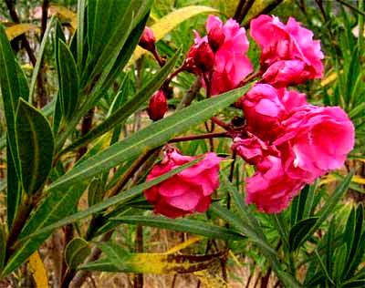 http://www.backyardnature.net/chiapas/oleander.jpg