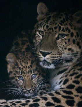 Il leopardo dell Amur