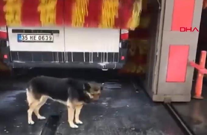 Astuta perrita callejera visita un autolavado todos los días para recibir el masaje que merece