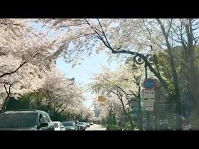 [Youtube] 2020년 봄 벚꽃 풍경 마포 용강동 토정로37길 염리초등학교 근처