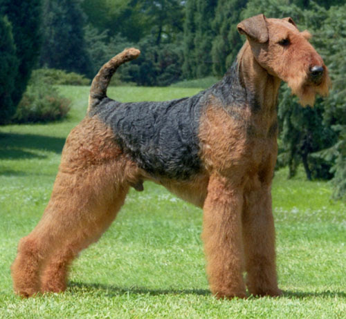Airedale Terrier  Page 1