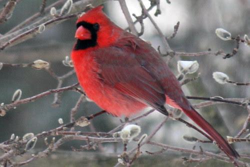 cardinal 047