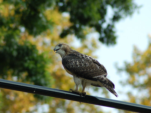 Divine Red-Tailed Hawk in Morningside Park