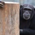 chimp-msic
