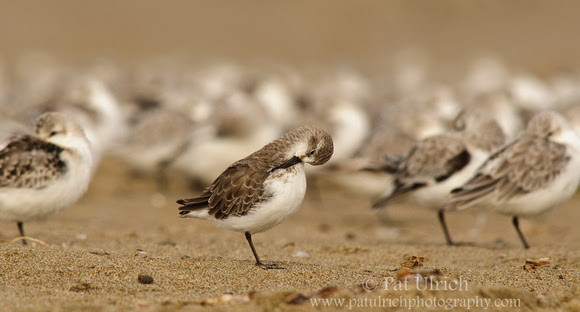 Photograph of one sandpiper isolated from the flock in Point Reyes National Seashore