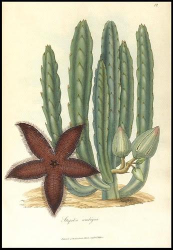 Stapelia ambigua (1797)