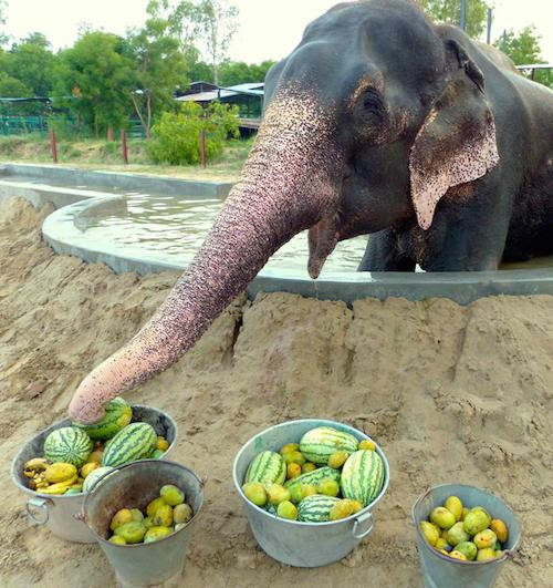 raju the elephant eating at his sanctuary