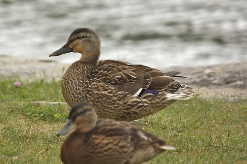 Ducks at Crystal Lake (5)