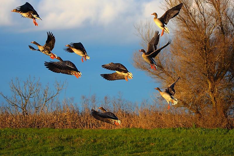 IMG_9017 White-Fronted Geese, Sacramento National Wildlife Refuge