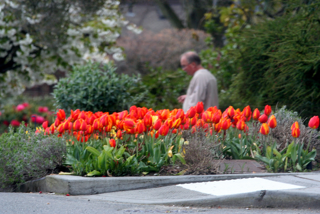 Red Orange Tulips & Cigar