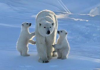 polar bear family links