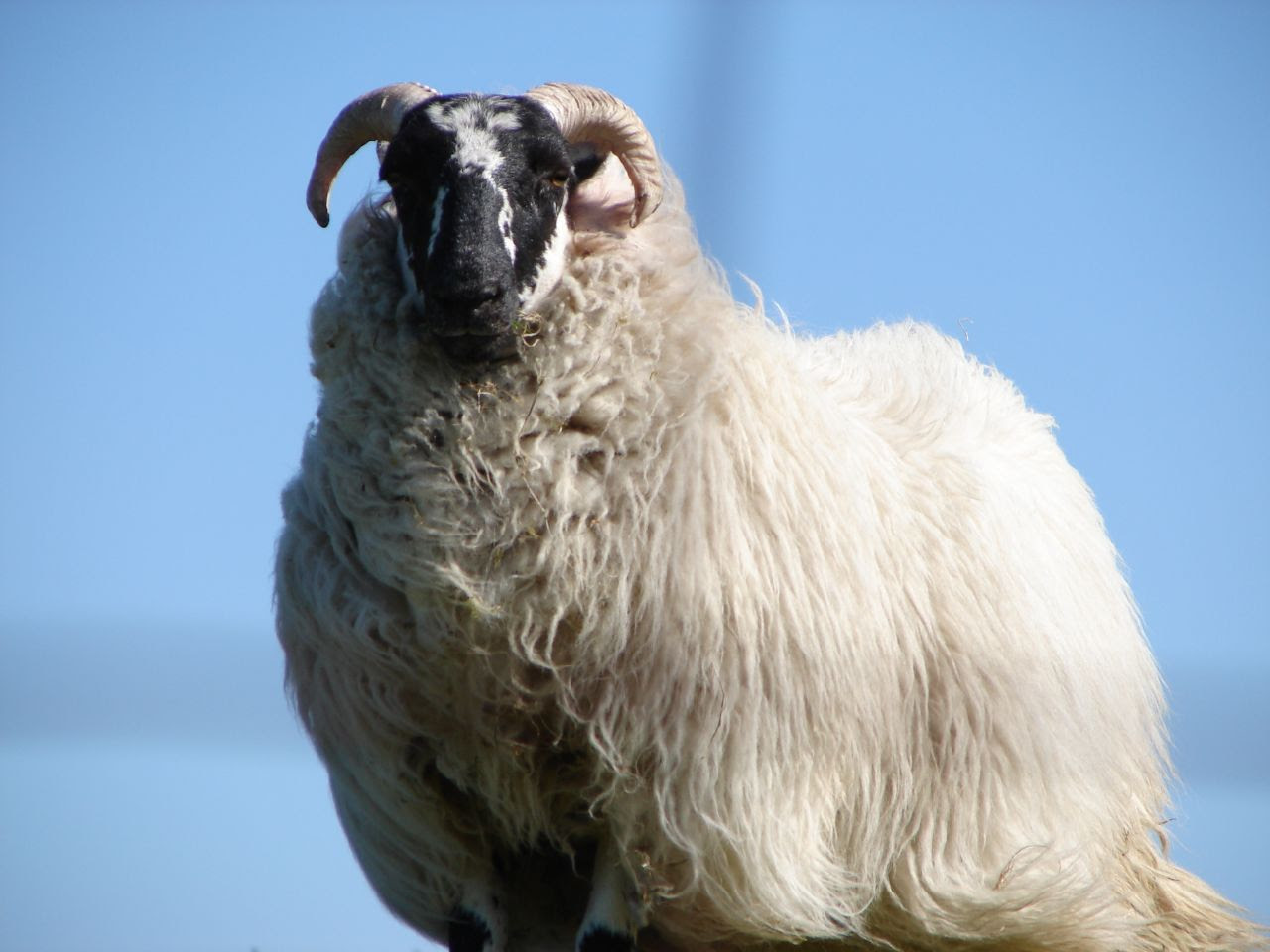 http://upload.wikimedia.org/wikipedia/commons/a/ab/Sheep_on_the_isle_of_Lewis.jpg