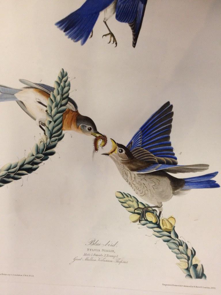 audubon blue birds with grub