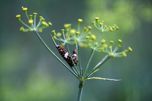 dill_caterpillar_1