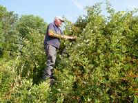 Charles picking blackberries