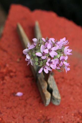 tiny texas wild flowers